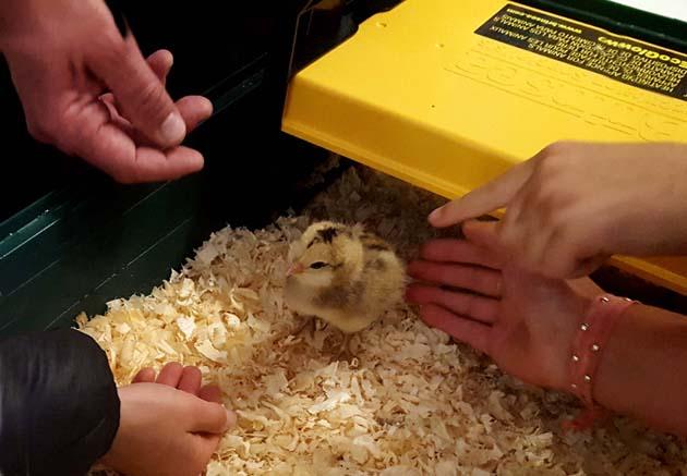 chickens_chicks_day4_#1_630x451