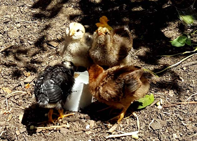 chickens_chicks_drinkwater_4xx_630x451