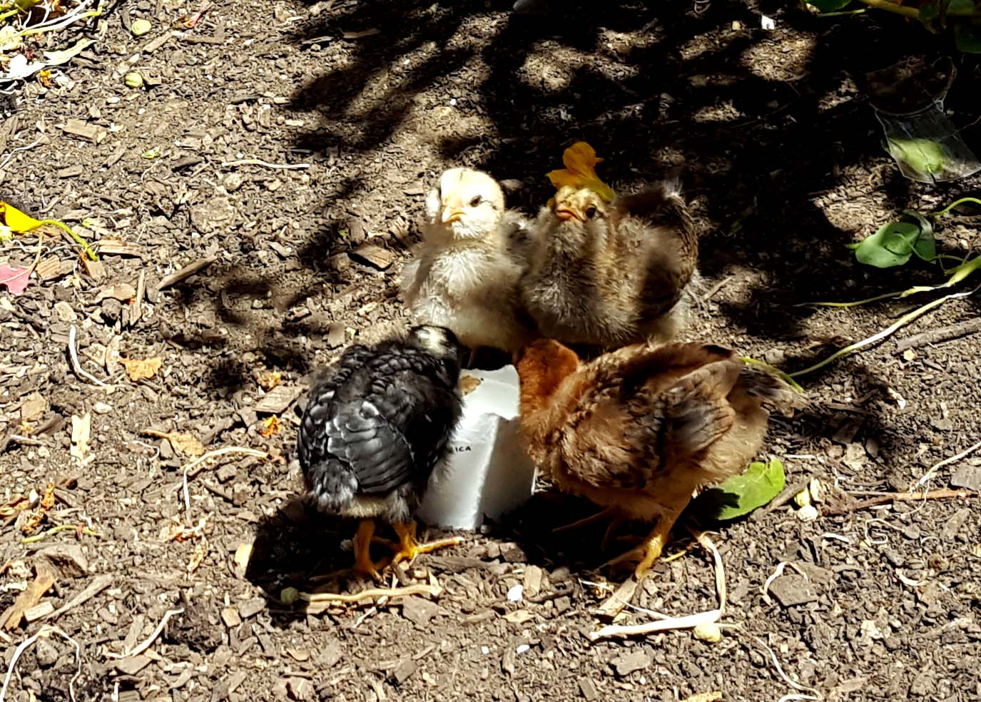 chickens_chicks_week2_4kidsdrink_630x451