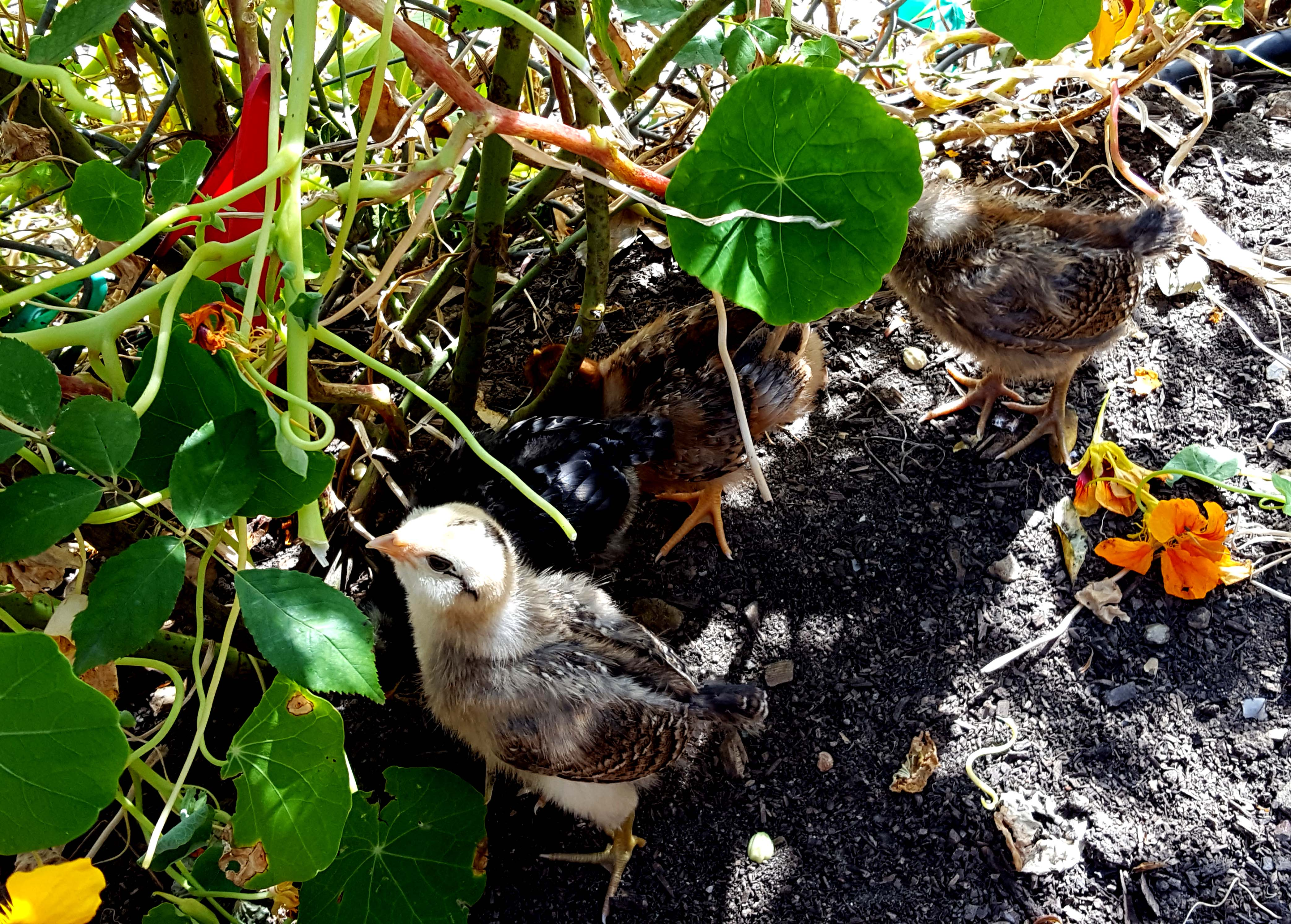 chickens_chicks_week2_Firstborn_nastursiums_630x451