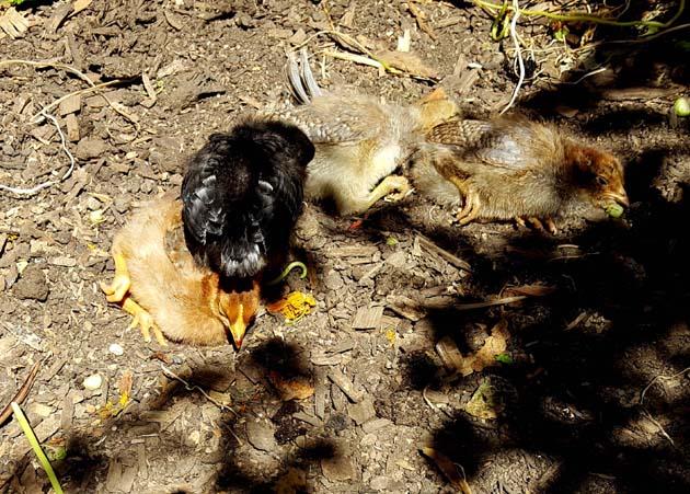 chickens_chicks_week2_firstdirtbath_630x451