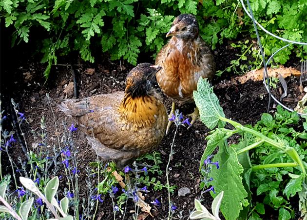 chicks_5w_garden_rosie_rocket_630x451