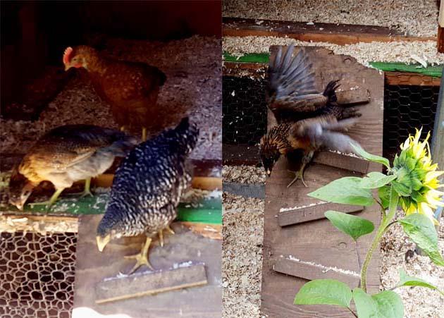 chicks_5w_rampdown_rosie_630x451