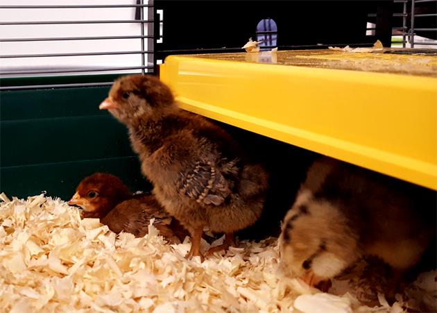 chicks_brooder_rosie_roo_rocket_630x451