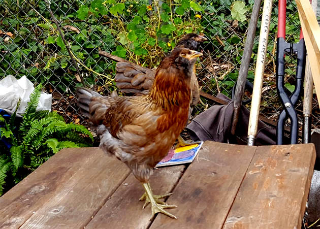 chicks_w10_rocket_rosie_sunning_wind_630x451