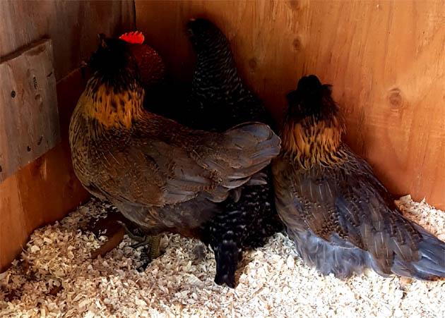 chicks_w9_roo_3hens_cornerhide_630x451