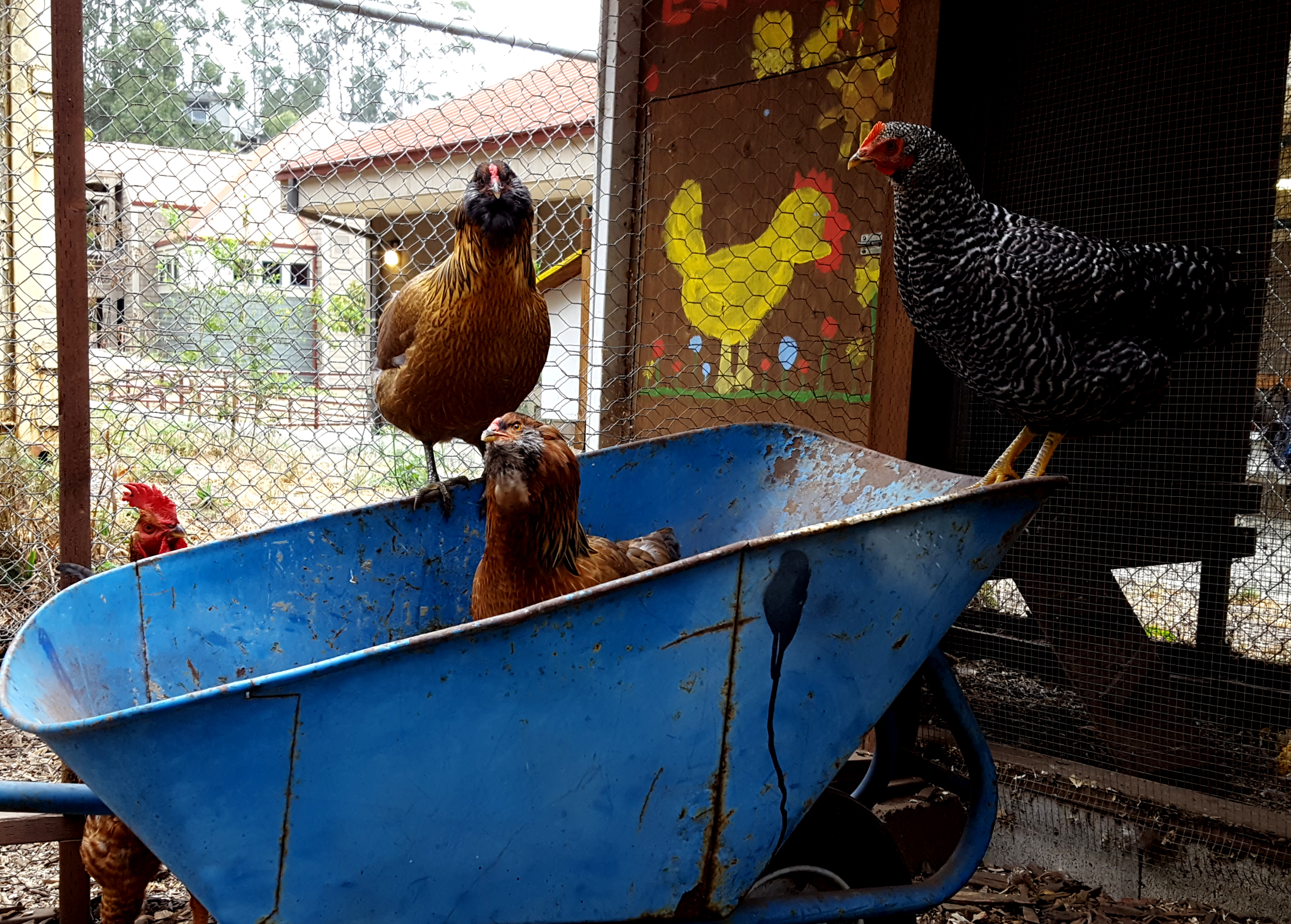 chickens_4chicks_wheelbarrow_5months_630x451