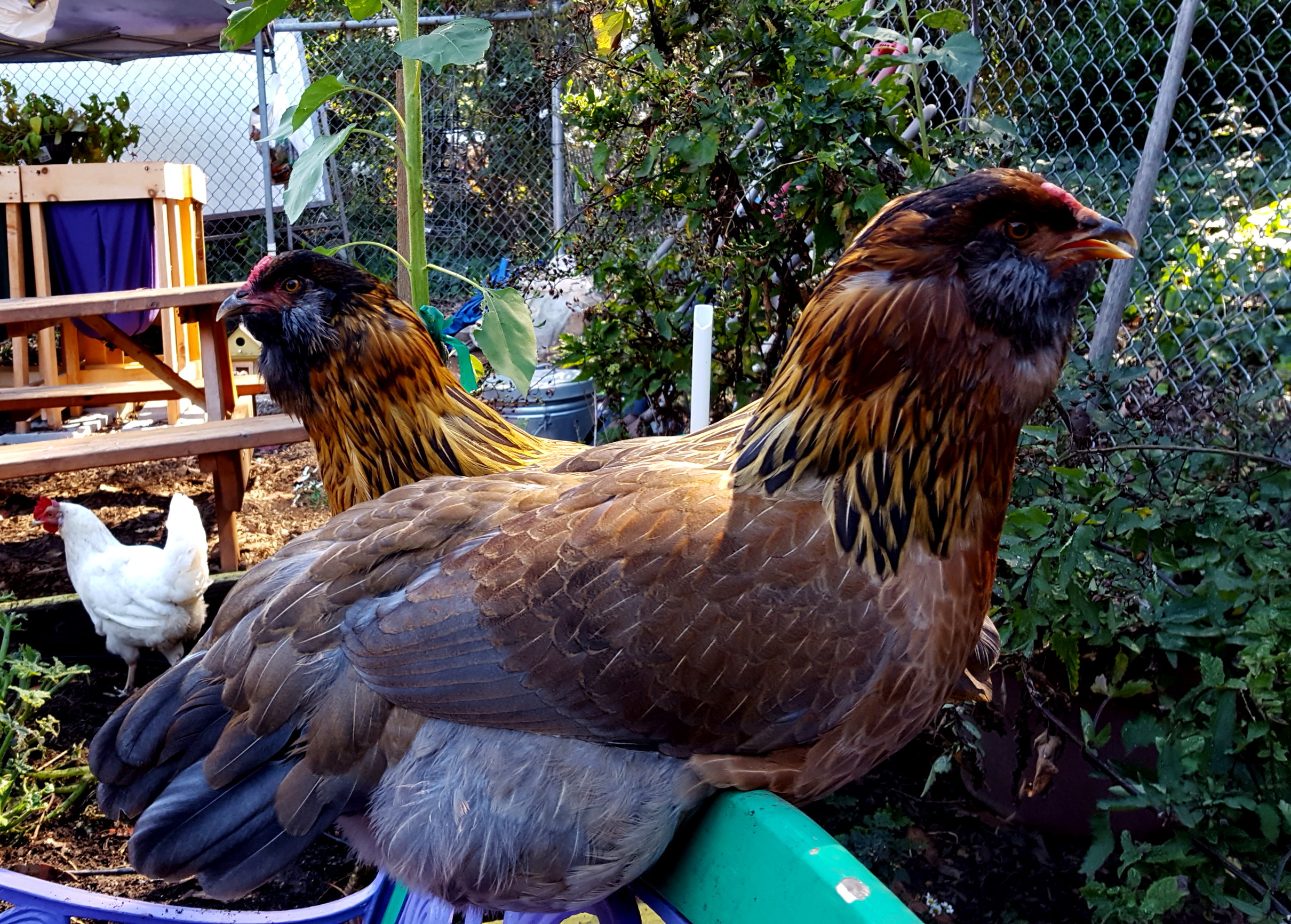 chickens_rocket_rosie_bench_talking_630x451