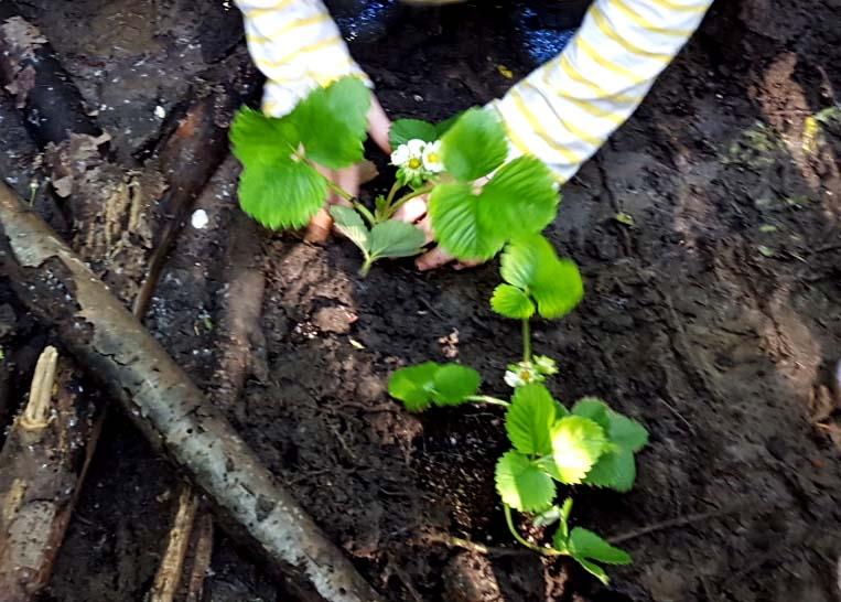 blackiememorial_handsplantingstrawberries_edited