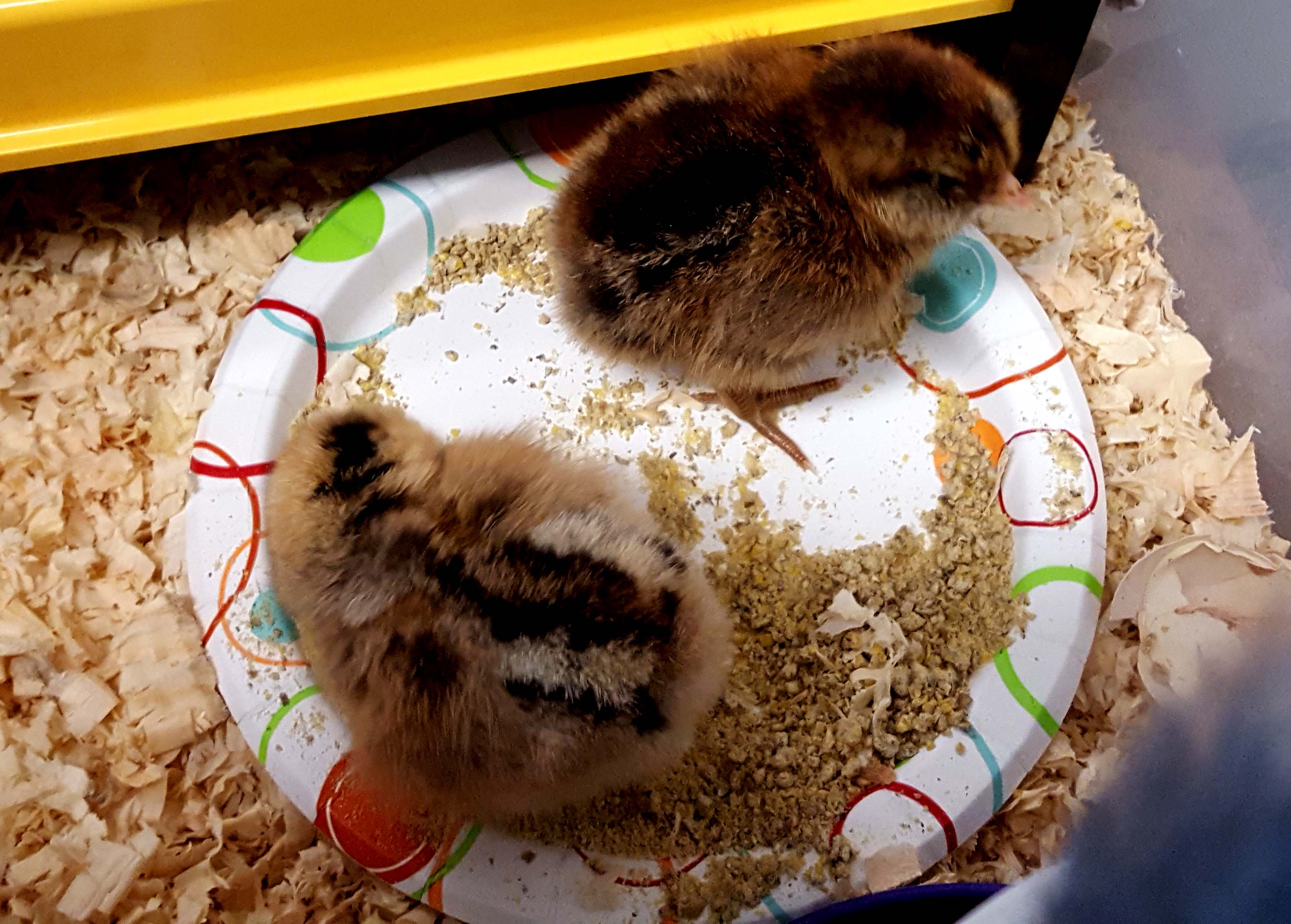 chickens_hatching_#1_#2_eatingplate_630x451