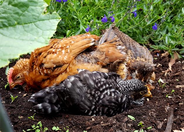 chicks_5w_dirtbath_roo_starlight_rosie_630x451