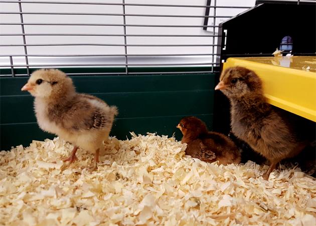 chicks_brooder_rocket_rosie_roo_630x451