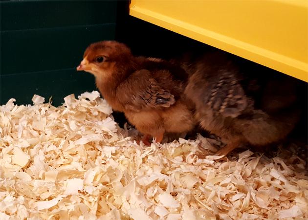 chicks_brooder_roo_630x451