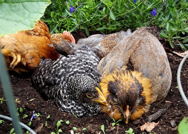 chicks_dirtbath_starlight_rosie_2_630x451